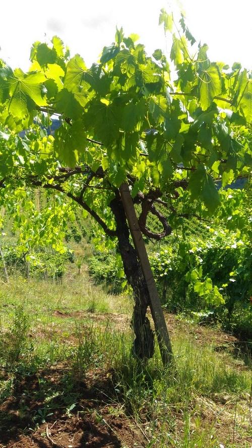 Vecchie Vigne Cesanese